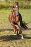 Hästgalopp som är kraftig fritt i paddockfrontal Royaltyfri Bild