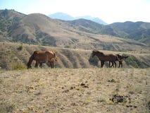 Hästhästar kör till och med friheten för stäppvindnaturen Fotografering för Bildbyråer