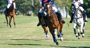 Hästhastighet i polo royaltyfria foton