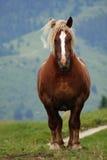 Hästhingsten med den blonda mannen agiterade vid vinden Royaltyfria Foton
