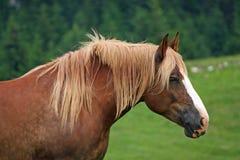 Hästhingsten med den blonda mannen agiterade vid vinden Arkivbild