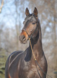 hästhingstthoroughbred Royaltyfri Foto