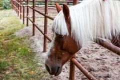 Hästhuvud med den vita kalufsen Royaltyfri Fotografi