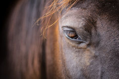 Hästhuvud - närbild av ögat Arkivfoton