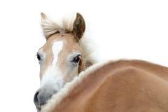 Hästhuvud på en vit bakgrund Arkivfoto