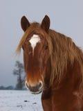 Hästhuvud som skjutas i snowen Royaltyfria Bilder