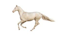Hästkörningsgalopp på vit bakgrund Royaltyfri Fotografi