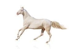 Hästkörningsgalopp på vit bakgrund Royaltyfri Foto