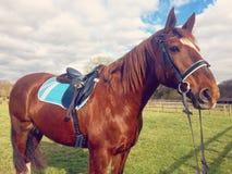 Hästkastanj Mare Equine Red royaltyfri fotografi