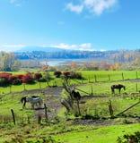 Hästlantgårdland med röda ladugårdar under fall. Arkivfoto