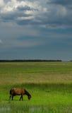hästliggande Royaltyfri Fotografi