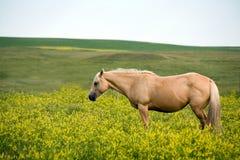 hästmarefjärdedel royaltyfri fotografi