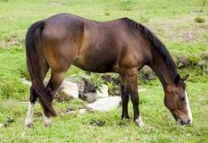 Hästmatning arkivbild