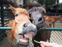Hästmatning Royaltyfri Fotografi