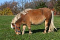 hästminiature Arkivbilder