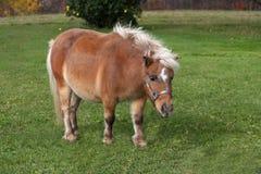 hästminiature Arkivfoton