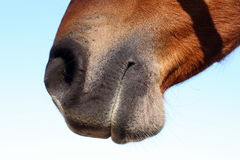 hästmun s Royaltyfria Bilder