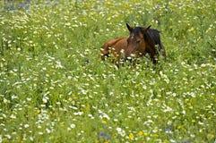 Hästnederlag i högväxt gräs Arkivfoto
