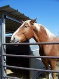hästpalomino Arkivbilder