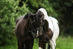 Hästpar Royaltyfria Foton