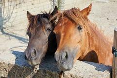Hästpar Arkivfoto