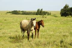 hästpar betar Royaltyfria Bilder