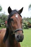 hästperuanstående Royaltyfri Foto