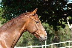 hästprofil Arkivbild