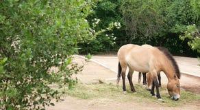 hästprzewalski s Royaltyfri Fotografi
