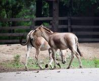hästprzewalski s Royaltyfria Bilder