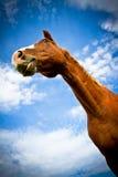 Hästresultatstående med blåa himlar Arkivbilder