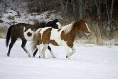 hästroundup Arkivfoto