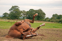 Hästrullning Arkivbilder