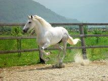 hästrunning Arkivbild
