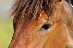 Hästs öga Royaltyfria Bilder