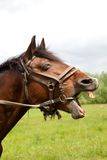 Hästs huvud arkivfoto