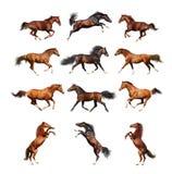 Hästsamling - som isoleras på vit Arkivbild