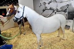 Hästshow på den Abu Dhabi International Hunting och ryttareutställningen (ADIHEX) 2013 Royaltyfria Bilder