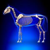 Hästskelett - hästEquusanatomi - på blå bakgrund stock illustrationer