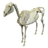 Hästskelett - hästEquusanatomi - som isoleras på vit stock illustrationer
