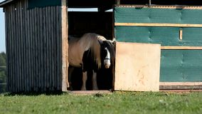Hästskraporna på stall stock video