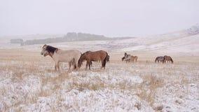 Hästskrubbsår på etttäckt fält snowing Ett av dem blickar på kameran arkivfilmer