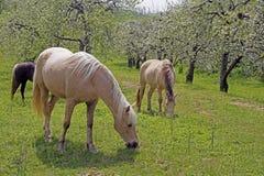 Hästskrubbsår under blommande äppleträd. Royaltyfri Fotografi