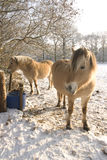 hästsnow Royaltyfri Foto