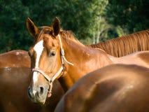 häststående Fotografering för Bildbyråer