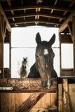 Häststående i öppen stallning Royaltyfri Fotografi