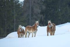 Häststående på den vita snön, medan se dig Royaltyfri Bild