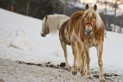 Häststående på den vita snön, medan se dig Royaltyfri Fotografi