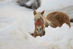 Häststående på den vita snön, medan se dig Royaltyfria Bilder