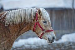 Häststående på den vita snön, medan se dig Arkivbild